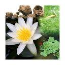 (ビオトープ/睡蓮)ビオ植物とメダカセット 姫睡蓮(ヒメスイレン) 白 鉢なしセット本州・四国限定