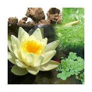 (ビオトープ/睡蓮)ビオ植物とメダカセット 睡蓮(スイレン) 黄 鉢なしセット 本州・四国限定