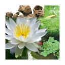 (ビオトープ)(めだか)ビオ植物とメダカセット 睡蓮(スイレン) 白 鉢なしセット 本州四国限定 休眠株