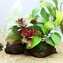 (水草)流木 ザ ボンサイ Ver.クリスマスカラー Sサイズ(水上葉)(無農薬)(1本)(約15cm)