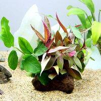 (水草)クリスマスカラーの水上葉セット 穴あき溶岩石付(無農薬)(1個)