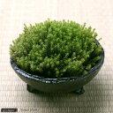 (観葉/苔)私の小さな苔盆栽 〜わびさび益子焼 みかげ〜 本州・四国限定 本州四国限定