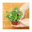 (ビオトープ/水辺植物)メダカの鉢にも入れられる水辺植物! ムチカとウォーターミントの寄せ植え(1ポ