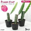 (観葉植物)果樹苗 ドラゴンフルーツの苗 品種おまかせ 3号(3ポット) 家庭菜園