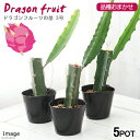 (観葉植物)果樹苗 ドラゴンフルーツの苗 品種おまかせ 3号(5ポット) 家庭菜園