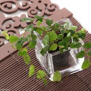 (観葉植物)ビバリウムプランツ フィカス プミラ ミニマ 4cmポット入り(1ポット)