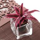 (観葉植物)ビバリウムプランツ クリプタンサス ノビスター 4cmポット入り(1ポット)