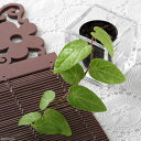 (観葉植物)ビバリウムプランツ ピペルsp. ボルネオ 4cmポット入り(1ポット)