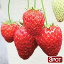 (観葉)サントリー 野菜苗 イチゴ ドルチェベリー 3号(お買い得3ポットセット) 家庭菜園