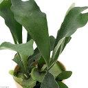 (観葉植物)コウモリラン ビカクシダ ビフルカツム 4号(1鉢) 北海道冬季発送不可の写真