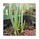 (観葉植物)野菜苗 ネギニラ なかみどり 3号( 3ポットセット) 家庭菜園