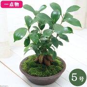 (観葉植物)一点物 ガジュマル 盆栽仕立て 5号(1鉢)(361256)