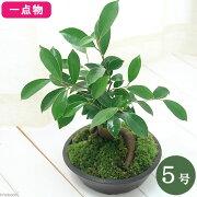(観葉植物)一点物 ガジュマル 盆栽仕立て 5号(1鉢)(361278)