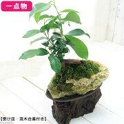 (観葉植物)苔盆栽 一点物 ガジュマル 化石サンゴ抱き盆栽仕立て(1個)(361279)
