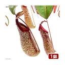 (食虫植物)ウツボカズラ ネペンテス ミランダ 5号(1鉢)(吊り鉢タイプ)