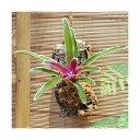 (観葉植物)バージンコルクプランツ ブロメリア ネオレゲリア ファイヤーボール 斑入り(1個)