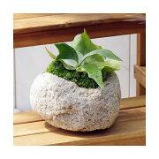(観葉植物)苔盆栽 コウモリラン 抗火石鉢植え Mサイズ(1鉢) 北海道冬期発送不可