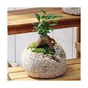(観葉植物)苔盆栽 ガジュマル 抗火石鉢植え Mサイズ(1鉢...
