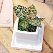 (観葉植物)ジュエルオーキッド マコデス ペトラ 陶器鉢植え ニューダイスS(1鉢) 受け皿付き