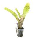 (観葉植物)ビバリウムプランツ ブロメリア ネオレゲリア アンプラセア 4cmポット入り(1ポット)
