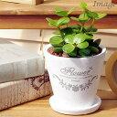 (観葉)ペペロミア ホープ 陶器鉢植え フレグランドラウンドポット(1鉢)(受け皿付)
