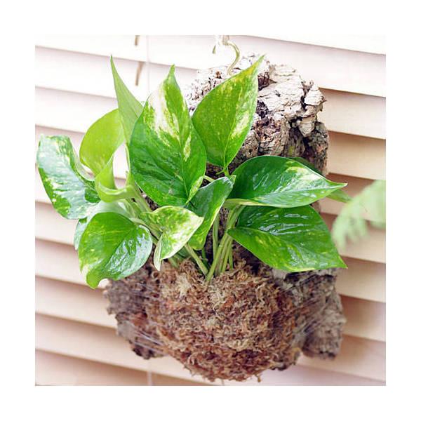 (観葉植物)バージンコルクプランツ ポトス 品種...の商品画像