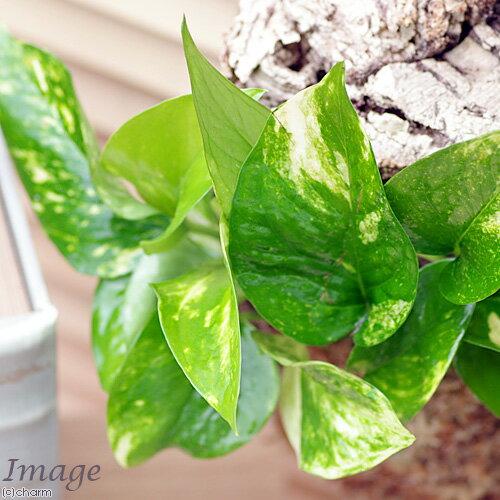 (観葉植物)バージンコルクプランツ ポトス 品...の紹介画像2