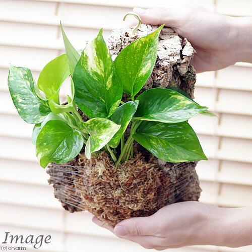 (観葉植物)バージンコルクプランツ ポトス 品...の紹介画像3