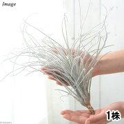(観葉植物)エアープランツ ティランジア テクトラム ロングタイプ Lサイズ(1株)