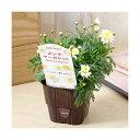 (観葉植物)サントリー ボンザマーガレット オペラ咲き レモンイエロー 3.5号(1ポット)
