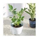 (観葉植物)おまかせハイドロ苗4.5φ・Sサイズ(3ポット)