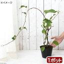 (山野草)盆栽 大実サルナシ 4号(1ポット) 家庭菜園 (休眠株)