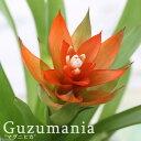 (観葉植物)グズマニア マグニフィカ 2.5号(1ポット)【HLS_DU】