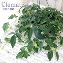 (観葉)クレマチス アンスエンシス 天使の歌姫 5号(1鉢) 常緑冬咲きクレマチス【HLS_DU】
