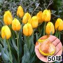 (観葉)チューリップ球根 黄色種 テープ巻き特大球(50球)