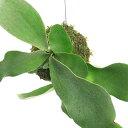 (観葉植物)苔玉 コウモリラン ビフルカツム 吊りタイプ Sサイズ (1個)