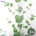 (観葉植物)ユーカリ グニーユーカリ 4号(1鉢)