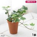 (観葉植物)ヘデラ(アイビー)(品種おまかせ) 2号ロング(1鉢) 北海道冬季発送不可