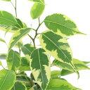 (観葉植物)フィカス ベンジャミン ラブリー 3.5~4号(1ポット) 北海道冬季発送不可