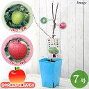 (観葉植物)果樹苗 ハイブリッドプランツ リンゴ(王林&津軽) 7号(1鉢) 家庭菜園