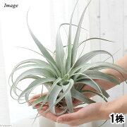 (観葉植物)エアープランツ ティランジア キセログラフィカ Mサイズ 広がりタイプ(1株)
