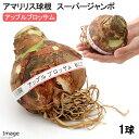 (観葉植物)アマリリス球根 アップルブロッサム テープ巻き特大球(1球)