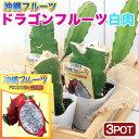 (観葉植物)果樹苗 沖縄 ドラゴンフルーツ 白肉 3.5号(3ポット) 家庭菜園【HLS_DU】
