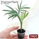 (観葉植物)ビバリウムプランツ テーブルヤシ 3株入り 4cmポット入り(1ポット)