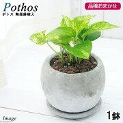 (観葉植物)ポトス 品種おまかせ 陶器鉢植え ロゼッタボウルS WH(1鉢) 受け皿付き
