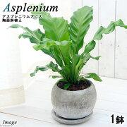 (観葉植物)シダ アスプレニウム アビス 陶器鉢植え ロゼッタボウルM WH(1鉢) 受け皿付き