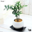 (観葉植物)ナギ(梛 竹柏) 陶器鉢植え 珠裳L WH(1鉢) 受け皿付き