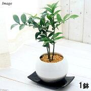 (観葉植物)ナギ(梛 竹柏) 陶器鉢植え 珠裳L WH(1鉢) 受け皿付き 北海道冬期発送不可