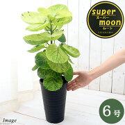 (観葉植物)ポリシャスsp. スーパームーン 斑入り 6号(1ポット)