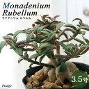 (観葉植物)モナデニウム モンタナム var. ルベルム 3.5~4号(1鉢) コーデックス